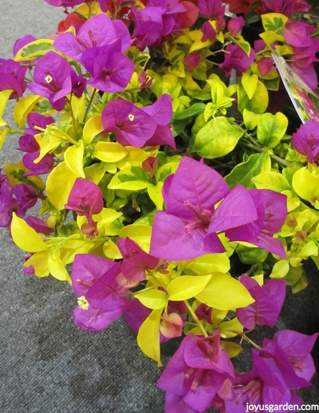 close up of Bougainvillea Golden Jackpot with chartreuse variegated leaves a shrub