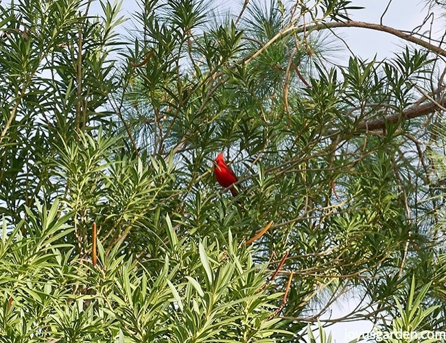 a red cardinal sits in a large oleander in tucson arizona