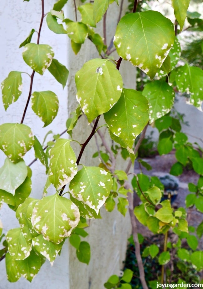 close up of bougainvillea leaves in winter this is light freeze damage