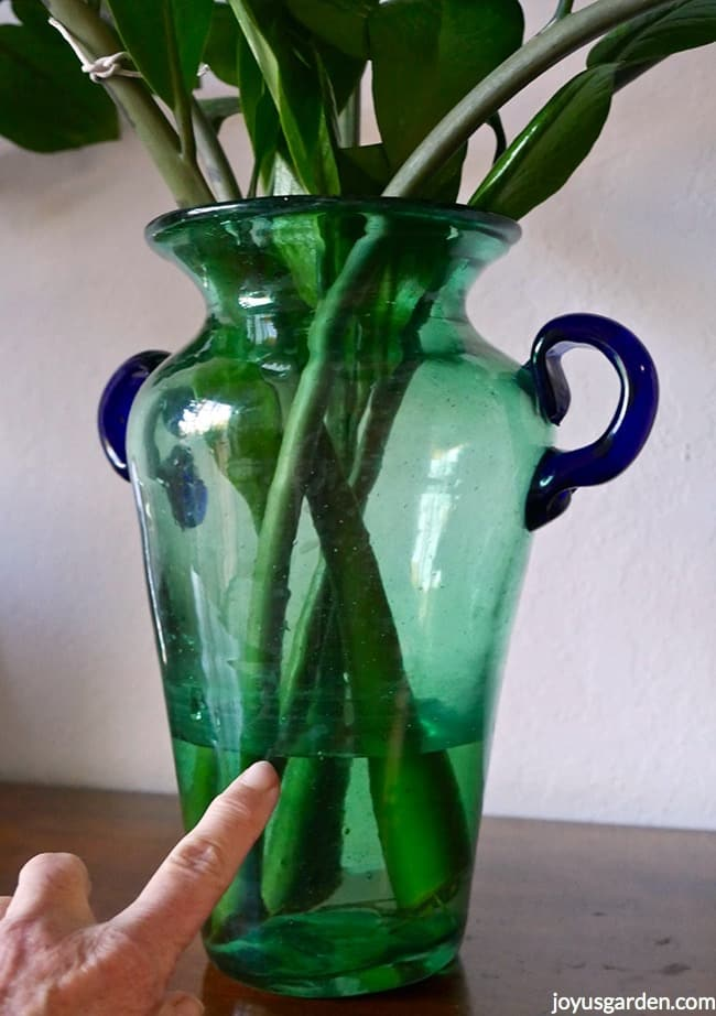ZZ Plant Stem cuttings in a green vase with blue handles. A finger is pointing to the water line