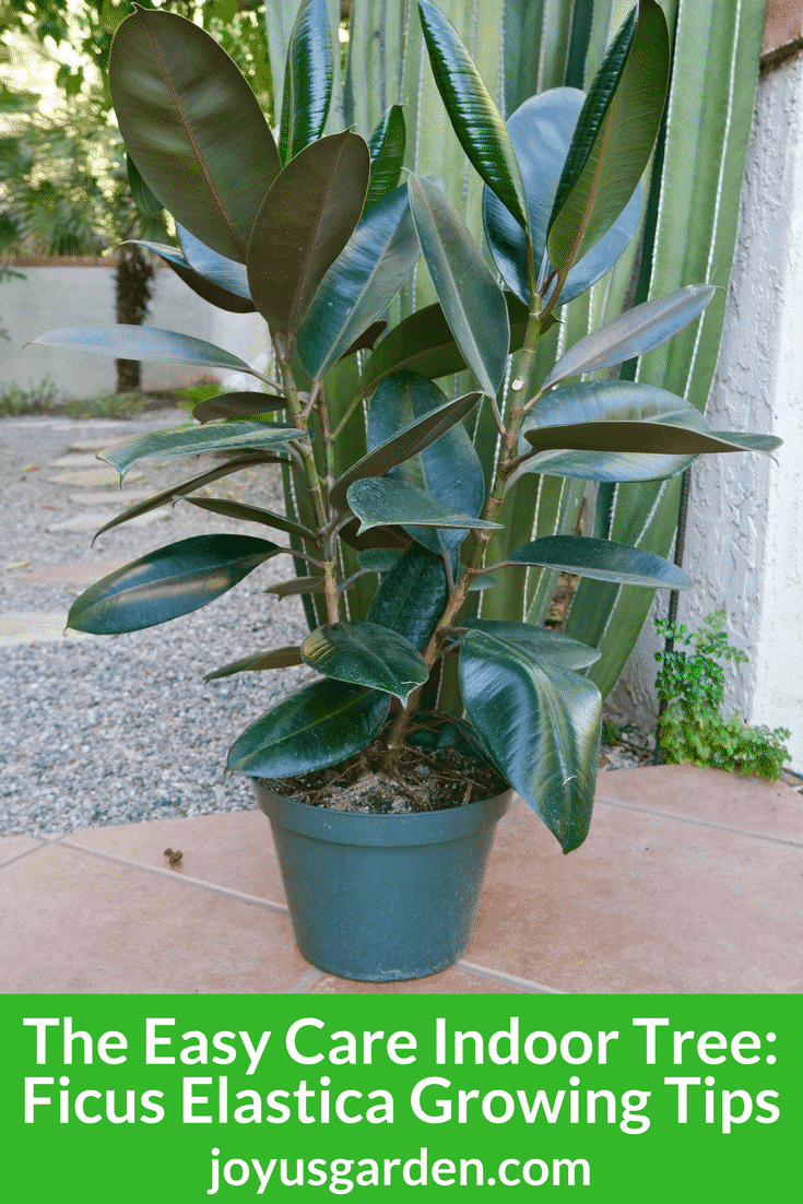 Rubber Plant: Growing Tips for this Easy Care Indoor Tree