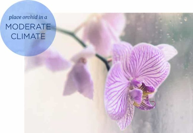 Closeup of pink orchid with graphic saying: place orchid in moderate climate