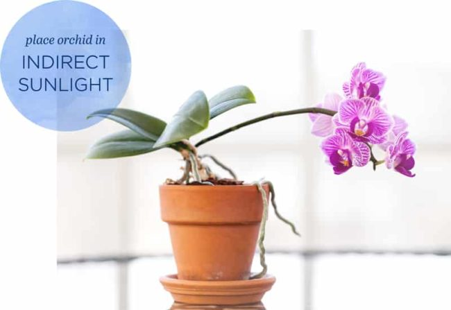Orchid in terracota pot with graphic saying: place orchid in indirect sunlight