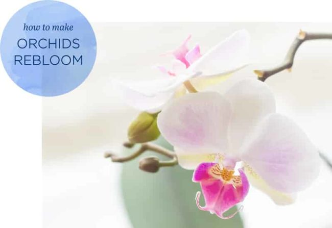 Closeup of white orchid blooms, graphic says: How to Rebloom Orchids
