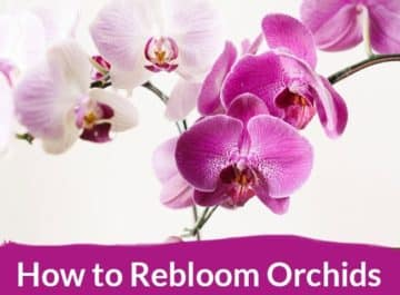 light pink & violet phalaenopsis orchid flowers the text reads How to rebloom orchids graphic on top of a picture with beautiful orchid blooms