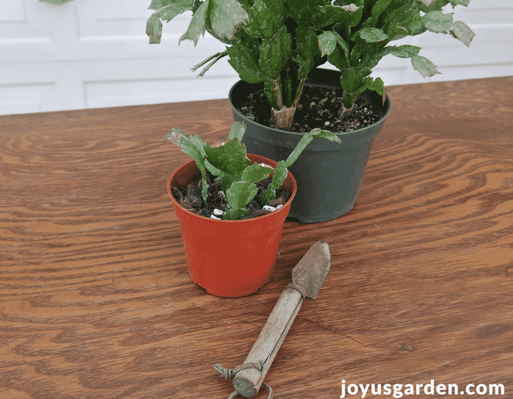 a christmas cactus thanksgiving cactus plant sits on a table with a smaller pot with cuttings along with a small trowel
