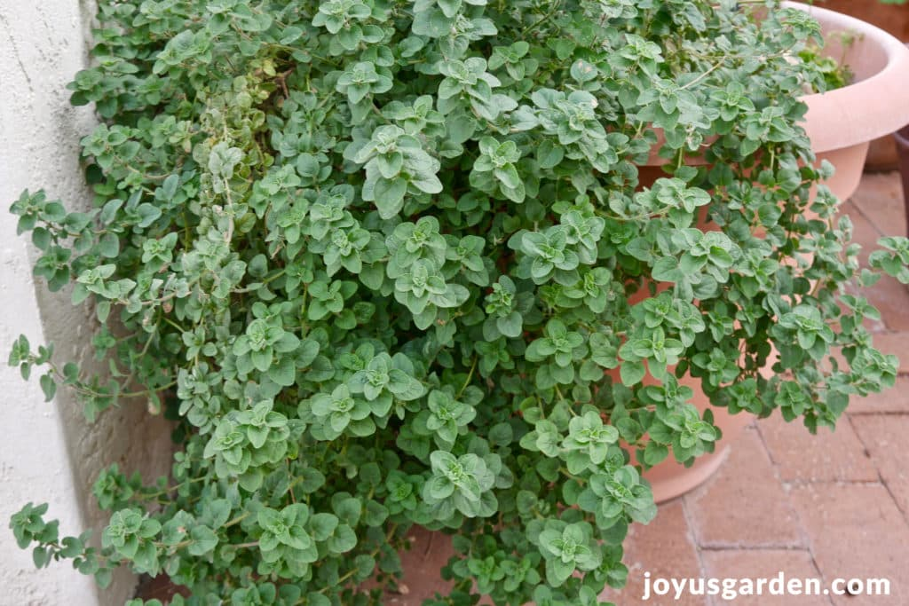 an overgrown oregano plant trailing out of a pot which needs pruning