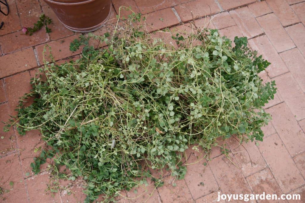 pruning-an-oregano-plant