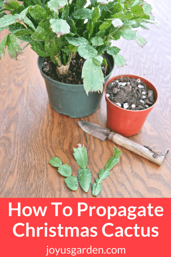 Propagate Christmas Cactus By Stem Cuttings