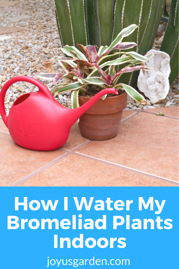 a red watering can sits next to a red, green & white bromeliad plant. the text reads how I water my bromeliad plants indoors.