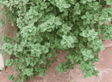 close up of a large oregano plant trailing out of a pot the text reads pruning an oregano plant a perennial herb with soft woody stems