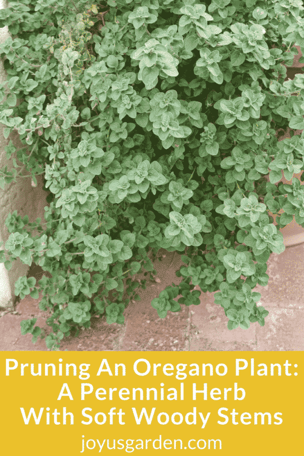 Pruning An Oregano Plant: A Perennial Herb With Soft Woody Stems