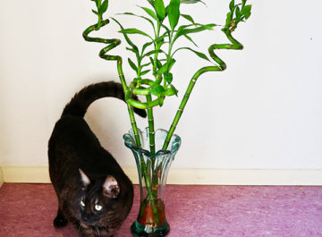 """A vase with 3 tall stalks of lucky bamboo sit on the floor next to a cute grey cat. The text reads: """"Lucky Bamboo & Spider Mites: How To Prevent & Treat this Common Pest""""."""