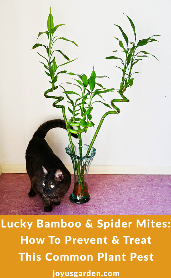 "A vase with 3 tall stalks of lucky bamboo sit on the floor next to a cute grey cat. The text reads: ""Lucky Bamboo & Spider Mites: How To Prevent & Treat this Common Pest""."