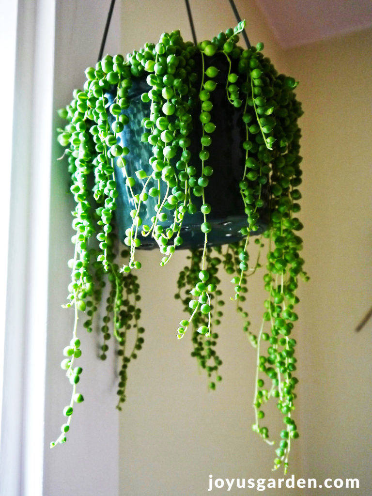 A String Of Pearls plant with long trails hangs in a window.