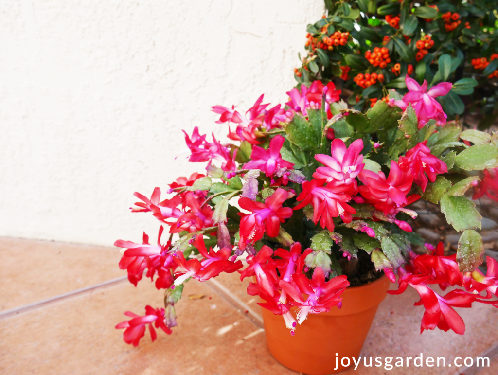 A Red Christmas Cactus In Terra Cotta Pot Sits Front Of White Wall