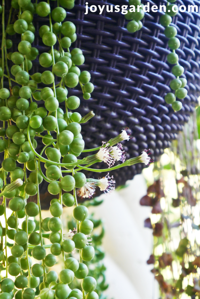 long, trailing stems of a string of pearls plant with white flowers