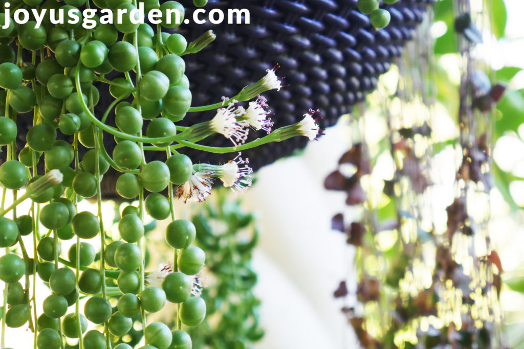 white string of pearls flowers & buds growing on long stems