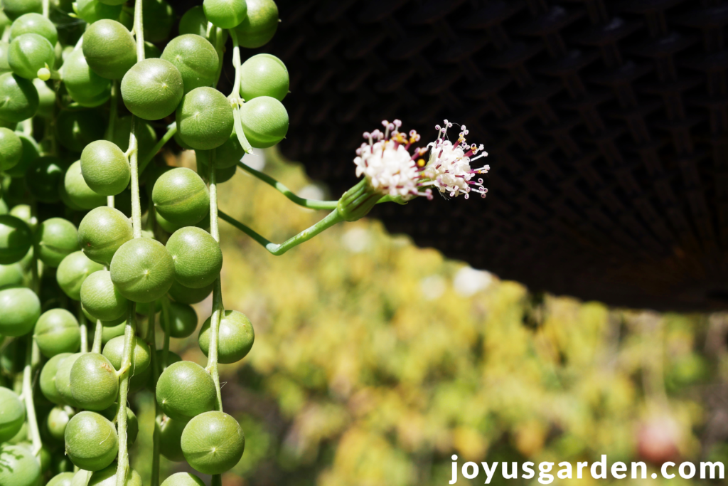 the small white, fragrant flowers of a string of pearls plant