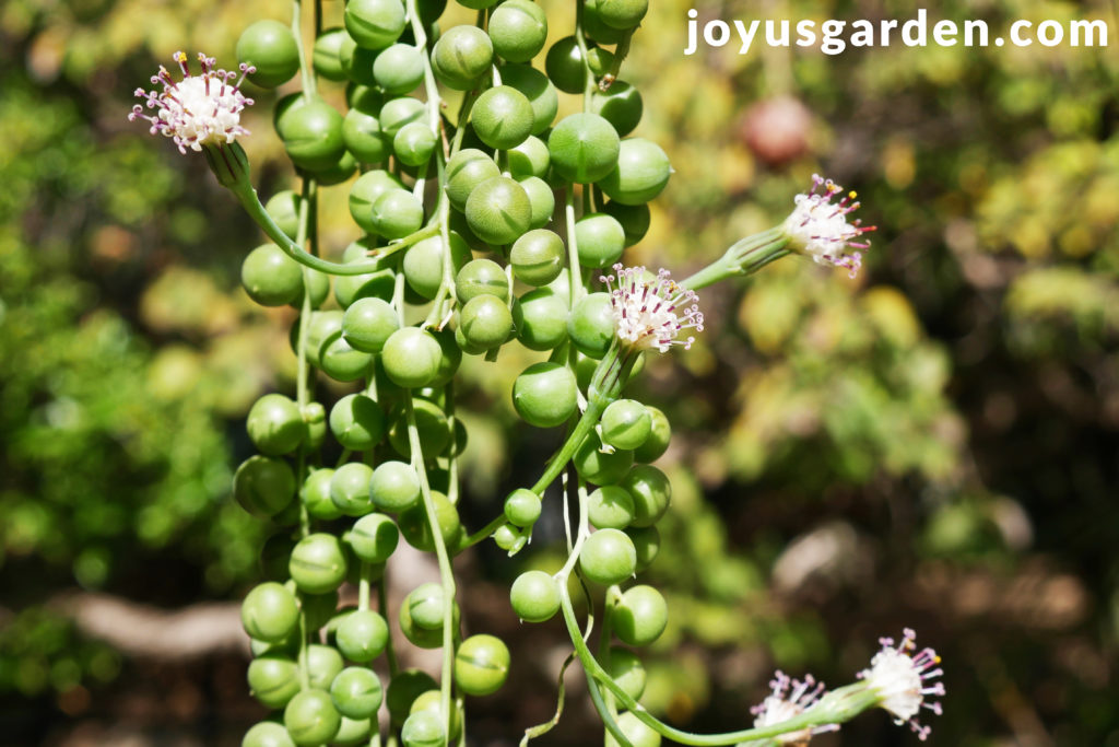 long string of pearls stems with white flowers