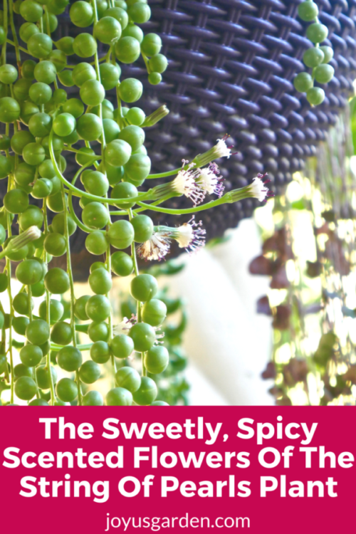 The Sweetly, Spicy Scented Flowers Of The String Of Pearls Plant