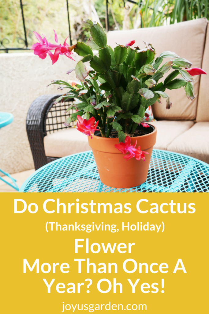 a red christmas cactus in a terra cotta pot sits on a bright blue table. the text reads do christmas cactus flower more than once a year? oh yes!