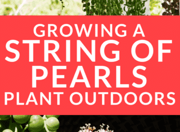 Tips For Growing A String Of Pearls Plant Outdoors