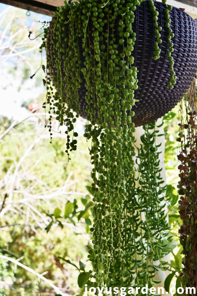 string of pearls plants with long trailing stems in a purple hanging pot
