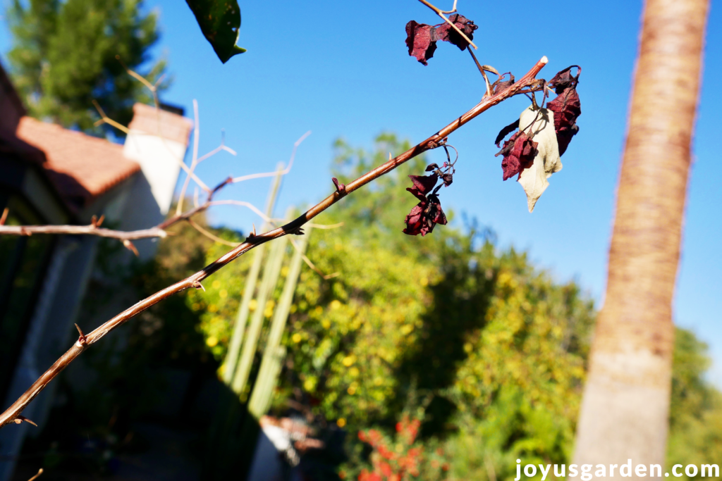 a bougainvillea branch with freeze damage