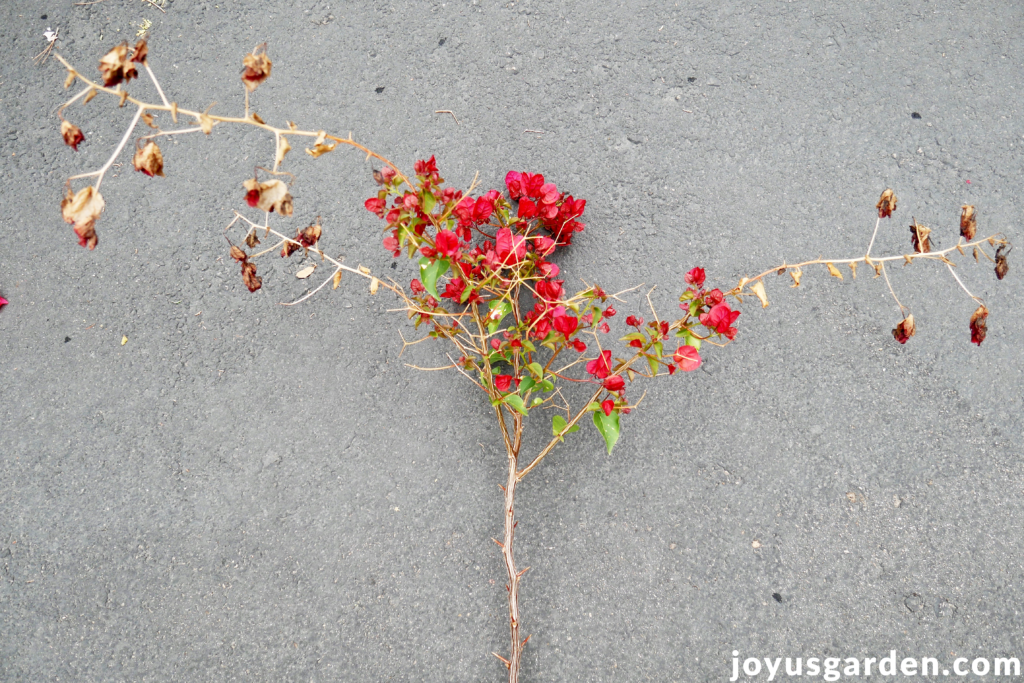 a bougainvillea branch with red flowers showing damage after a freeze