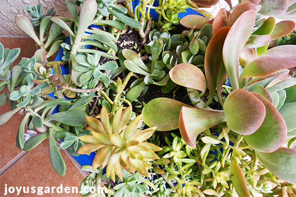 looking down on a mixed succulent planting in a blue pot