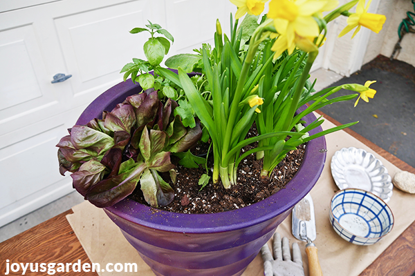 a purple pot with lettuces and herbs sits on a work table with a trowel, a glove, a bowl & a dish