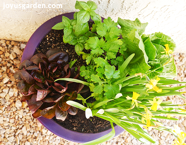 looking down on a purple pot with lettuces, parsley, basil & a mini daffodil