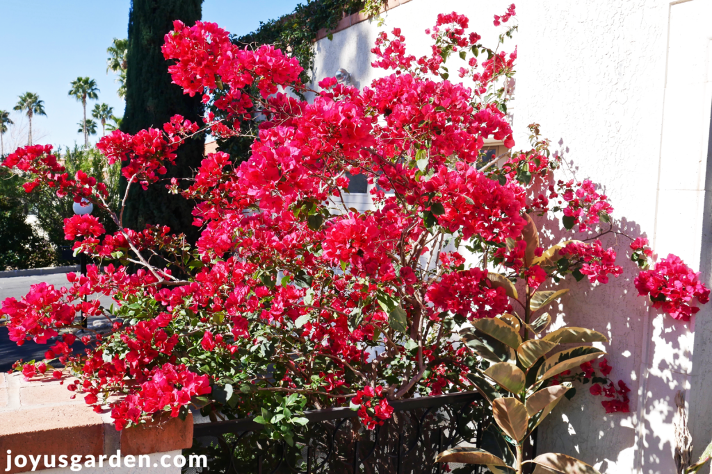 a red/rose bougainvillea barbara karst in spring against a white house