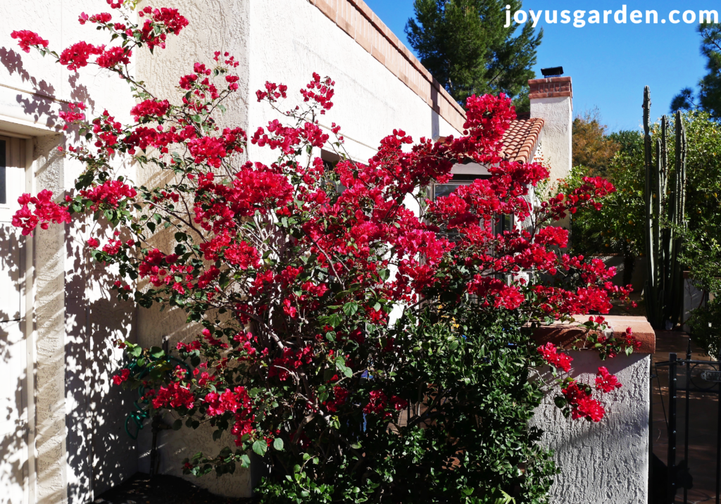 a bougainvillea barbara karst in full bloom grows against a white house