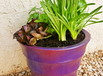 lettuces, herbs & a mini daffodil grow in a purple pot the text reads 5 Easy Steps To Create A Salad & Herb Container Garden