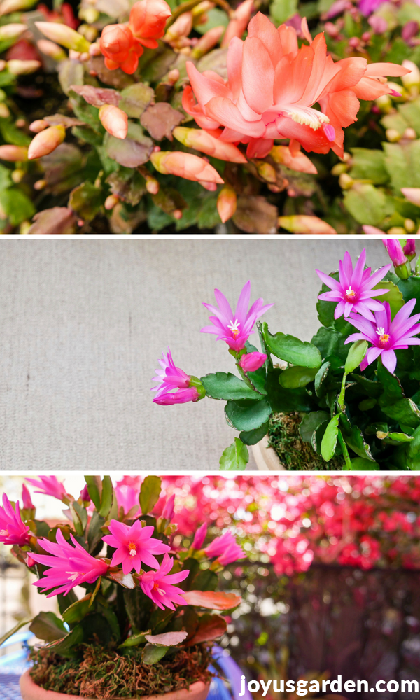 What you need to know about growing an easter cactus spring cactus a collage with 3 pictures showing a peach thanksgiving cactus flower 2 pictures of bright mightylinksfo