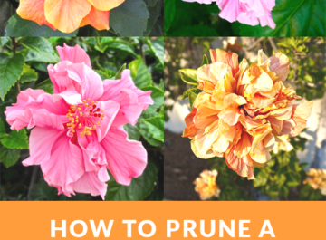 a collage with 4 beautiful hibiscus flowers 2 are pink & 2 are yellow ornage the text reads how to prune a tropical hibiscus