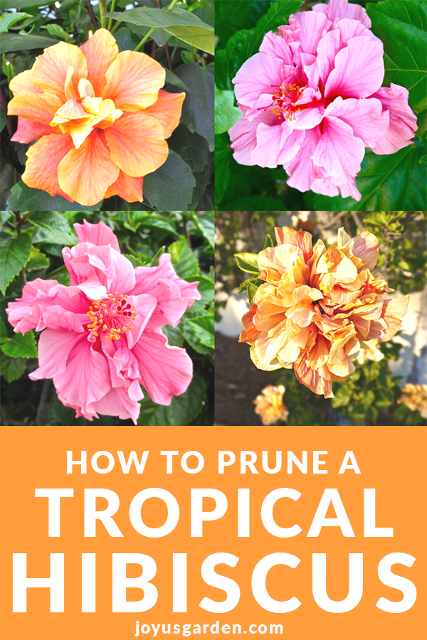 How To Aesthetically Prune A Tropical Hibiscus In Spring