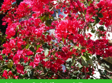 close up of a red bougainvillea in full bloom. the text reads how & when I prune my bougainvillea after a freeze.