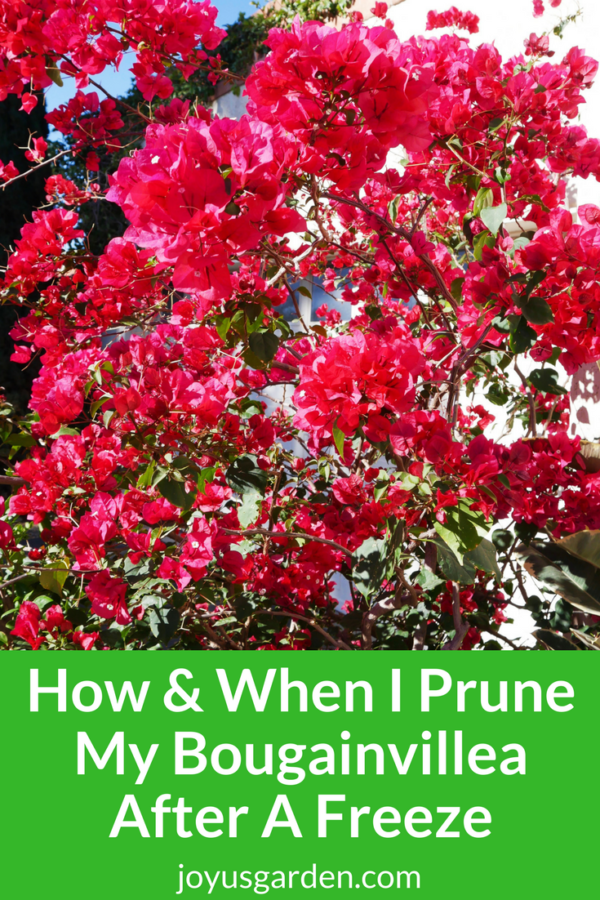 How & When I Prune My Bougainvillea After A Freeze