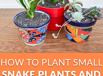 How To Plant Small Snake Plants and Succulents In Small Pots