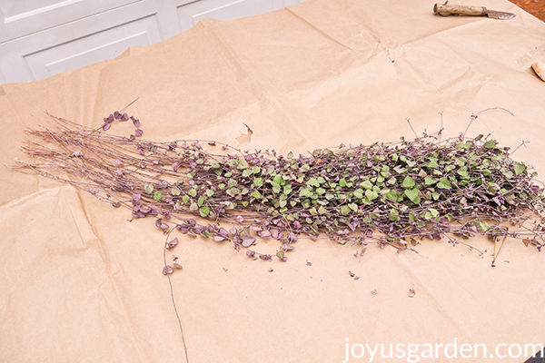 a tangle of String of Hearts cuttings sit on a sheet of brown paper