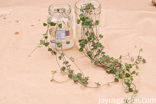 a jars with String of Hearts plant cuttings sit on a piece of brown paper