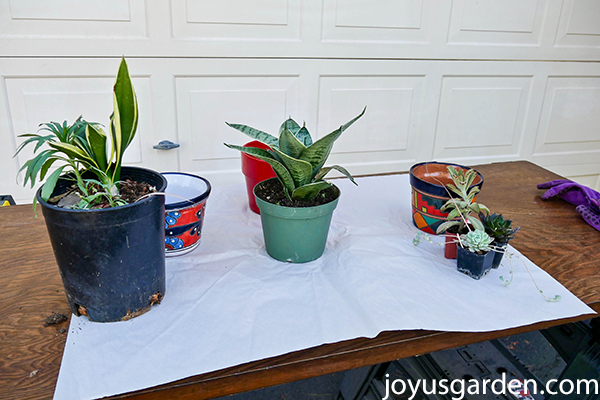 s small snake plants & 3 small succulents in grow pots sit on a table with 3 small colorful pots