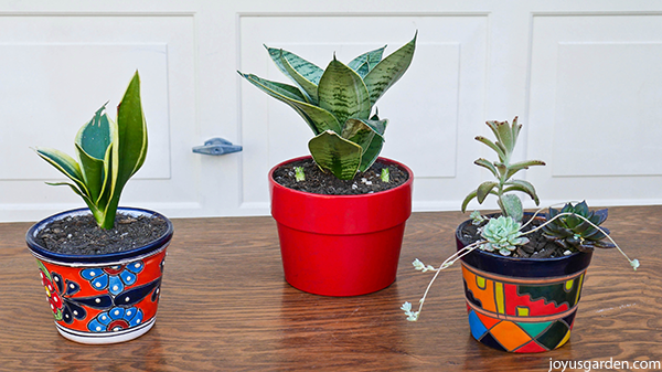 a small snake plant in a colorful talavera pot sits next to a small snake plant in a small red pot & 3 small succulents plants in a small pot with a colorful pattern