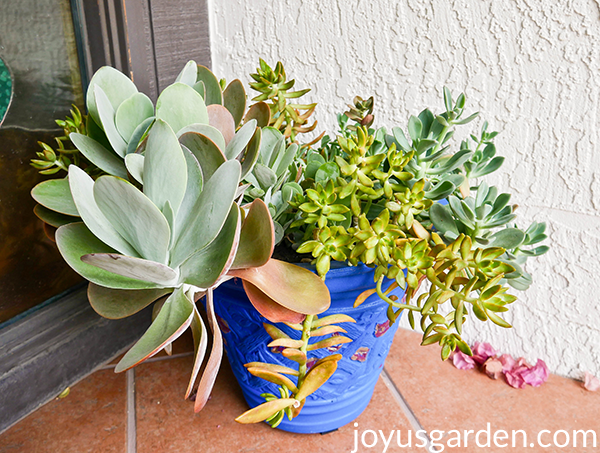 Gorgeous mix of succulents in a blue pot