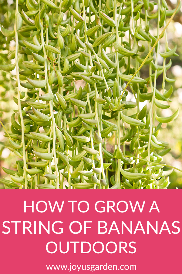How To Grow A String Of Bananas Plant Outdoors
