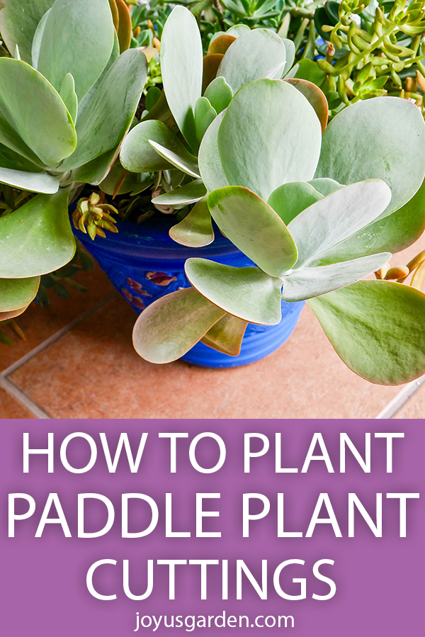 a beautiful paddle plant with large paddle shaped grey green leaves grows in a planter the text reads How To Plant Paddle Plant (Flapjacks Kalanchoe) Cuttings