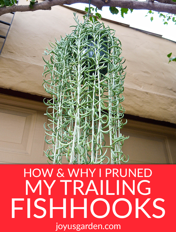 a string of fishhooks plant with long trails hangs from a branch the text reads How & Why I Pruned My Trailing Fishhooks Succulent (String Of Fishhooks)